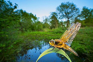 Four-spotted chaser dragonfly (Libellula quadrimaculata), Powerstock Common DWT reserve, Dorset, England, UK, May.
