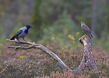 Sparrowhawk (Accipiter nisus) and a Hooded Crow (Corvus corone cornix) Norway, October.
