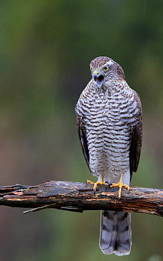 Sparrowhawk (Accipiter nisus) juvenile trying to vomit a pellet Norway, October.