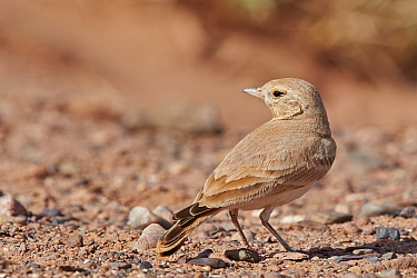 Bar-tailed Lark (Ammomanes cincrura) Morocco, March.