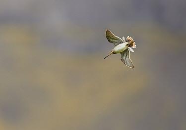Common Snipe (Gallinago gallinago) in display flight, Iceland, June.
