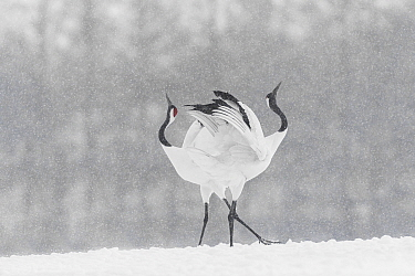Red-crowned crane (Grus japonensis) courtship dance in snow, Hokkaido, Japan