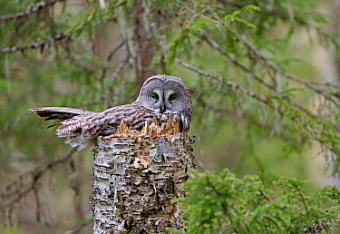 Great grey owl (Strix nebulosa) at nest, Kuhmo, Finland, May.