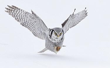 Hawk Owl (Surnia ulula) hunting, Kuhmo, Finland, March.