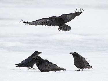 Ravens (Corvus corax) Sodankyla, Lokka, Finland, April.