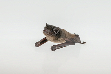 Gould's wattled bat (Chalinolobus gouldii). ??Captive rescued animal, photographed under controlled conditions.? North Melbourne, Victoria, Australia.?