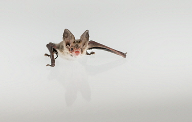 Lesser long-eared bat (Nyctophilus geoffroyi). Rescued animal photographed under controlled conditions. Victoria, Australia.