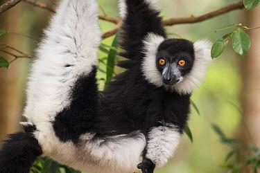 Black and white ruffed lemur (Varecia variegata) Palmarium Reserve, Ankanin'Nofy, Madagascar