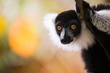 Black and white ruffed lemur (Varecea varigata) Palmarium Reserve, Ankanin'Nofy, Madagascar.