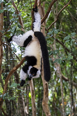 Black and white ruffed lemur (Varecia variegata) hanging from tree, Palmarium Reserve, Ankanin'Nofy, Madagascar.