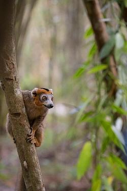 Crowned lemur (Euemur coronata) Palmarium Reserve, Ankanin'Nofy , Madagascar