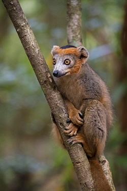 Crowned lemur (Eulemur coronatus) Palmarium reserve, Ankanin'ny Nofy, Littoral rainforest, Madagascar.