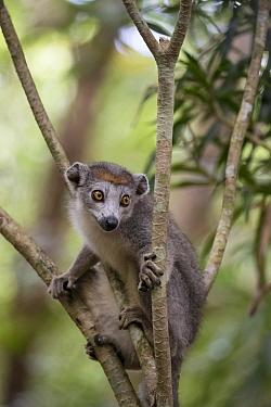 Crowned lemur (Eulemur coronata) Palmarium Reserve, Ankanin'Nofy, Littoral rainforest, Madagascar.
