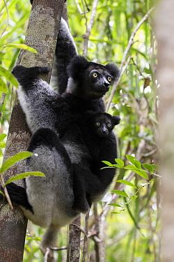 Indri (Indri indri) with young, Palmarium Reserve, Ankanin'ny Nofy, Littoral rainforest, Madagascar.