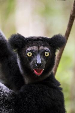 Indri (Indri indri) Palmarium Reserve, Ankanin'ny Nofy, Littoral Rainforest, Madagascar.