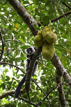 Black and white ruffed lemur (Varecia varigata) feeding on bread fruit, Kianjavato Lemur Project, Madagascar biodiversity partnership, Ranomafana, Madagascar.
