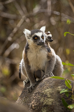 Ring tailed lemur (Lemur catta) carrying twins,  Anja Community Reserve, Ambalavao. Madagascar
