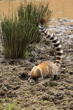 Ring tailed lemur (Lemur catta) drinking from area trampled by cattle surrounding lake, Anja Community Reserve. Ambalavao, Madagascar.