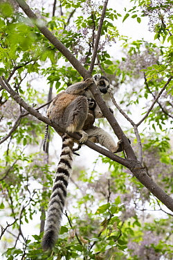 Ring tailed lemur (Lemur catta) mother with twins in tree. Anja Community Reserve, Ambalavao, Madagascar.