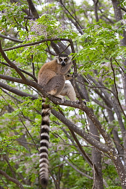 Ring tailed lemur (Lemur catta) in tree, Anja Community Reserve, Ambalavao, Madagascar.