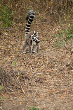 Ring tailed lemur (Lemur catta) mother carrying twins on forest floor, Anja Community Reserve,  Ambalavao, Madagascar.