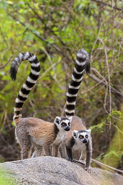 Ring tailed lemur (Lemur catta) pair on rocky outcrop, Anja Community Reserve, Ambalavao,  Madagascar