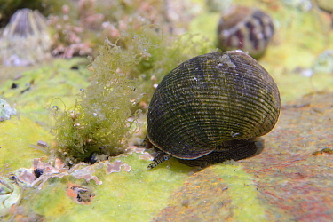 Common / Edible periwinkle (Littorina littorea) crawling over a rockpool floor, The Gower Peninsula, UK, August.