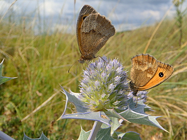 Gatekeeper / Hedge brown butterflies (Pyronia tithonus) nectaring on Sea holly flowers (Eryngium maritimum) in coastal sand dunes, The Gower, Wales, UK, August.