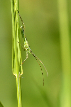 Grass mirid bug (Megaloceroea recticornis) well camouflaged as it stands on a grass stem in a chalk grassland meadow, Wiltshire, UK, July.