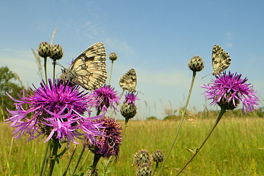 Three Marbled white butterflies (Melanargia galathea) nectaring on Greater knapweed flowers (Centaurea scabiosa) in a chalk grassland meadow, Wiltshire, UK, June.