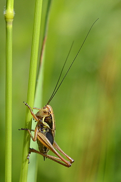 Roesel's bush cricket (Metrioptera roeseli) male, short-winged form, resting on a grass stem in a meadow, Wiltshire, UK, June. This species, formely of SE coasts is expanding its range rapidly fur...