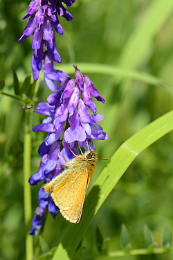 Small skipper butterfly (Thymelicus sylvestris) nectaring on Tufted vetch flowers (Vicia cracca) in a woodland ride, Wiltshire, UK, July.