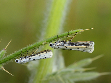 Two newly emerged Thistle ermine moths (Myelois circumvoluta) resting under the leaf of a larval food plant for this species, Woolly thistle (Cirsium eriophorum) in a chalk grassland meadow, Wiltshire...