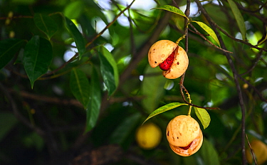 Ripe nutmeg (Myristica fragrans) fruits ready for harvesting. Visible inside is the nut covered with red mace. Dominica, Eastern Caribbean, September 2019