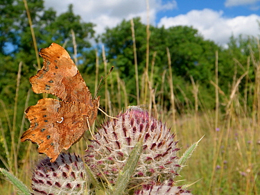 Comma butterfly (Polygonium c-album) nectaring on a Woolly thistle (Cirsium eriophorum) flowerhead in a chalk grassland meadow, Wiltshire, UK, July.