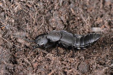 Devil's coach horse beetle (Ocypus olens) in a garden flowerbed, Wiltshire, UK, September.