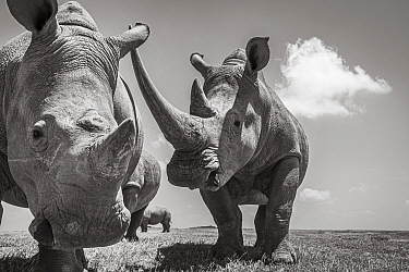 White rhinoceroses (Ceratotherium simum), Solio Game Reserve, Solio Ranch, Kenya. Taken with remote camera buggy / BeetleCam.