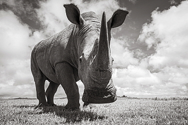 White rhino (Ceratotherium simum), portrait. Solio Game Reserve, Solio Ranch, Kenya. Taken with remote camera buggy / BeetleCam.