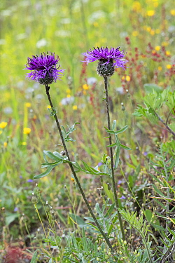 Greater knapweed (Centaurea scabiosa), Innlandet, Norway, July.