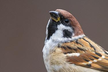EurasianTree sparrow (Passer montanus), Nordherad, Norway, October.