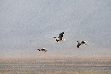 Pink-footed goose (Anser brachyrhynchus) group of three in flight, Svalbard, Norway, September.