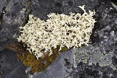 Lichen (Flavocetraria nivalis), Jotunheimen National Park, Norway, July.