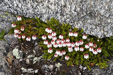 Moss bell heather (Harrimanella hypnoides), Jotunheimen National Park, Norway, July.