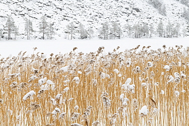 Common reeds (Phragmites australis) on a frozen lake, Sel, Norway, March.