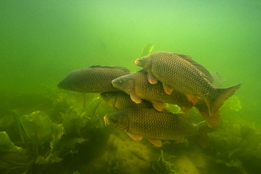 Carp (Cyprinus carpio), at spawning period, female with males over spawning ground in the middle of European white waterlily (Nymphaea alba), Lake Morat, close to Faoug, Canton of Fribourg, Switzerlan...