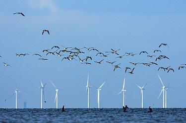 Barnacle geese (Branta leucopsis) flying in front of wind turbines, Falsterbo, Sweden, September.