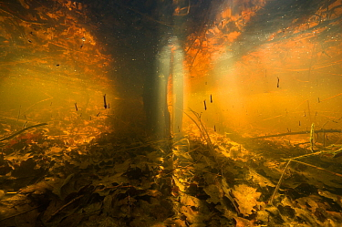 Underwater view of shallow pond on the shore of the lake, colour caused by dissolved tannins, with mosquito larvae. Lake Neuchatel, close to Font, Canton of Fribourg, Switzerland. April. Photographed...