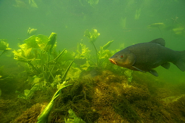 Tench (Tinca tinca), male, close to the nest with the female (see the caudal fin) with European white waterlily (Nymphaea alba) on the bed of Lake Morat, close to Faoug, Canton of Fribourg, Switzerlan...