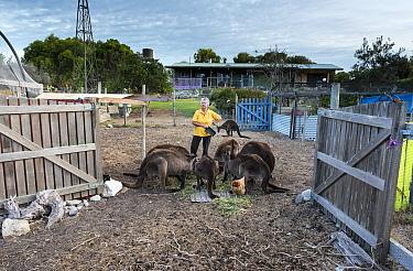 Wild Kangaroo Island Kangaroos (Macropus fuliginosus fuliginosus) gathering at the back gate of animal rescuer Sandy Carey's house for a free breakfast with her chicken. Some of these kangaroos ar...