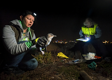 Volunteer researcher Natasha Fitzgerald from Earthcare St Kilda, holding a Little Blue Penguin (Eudyptula minor) just taken from its burrow whilst Zoe Hogg (right) - who has been leading the research...